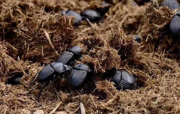 Жук-навозник-насекомое-Описание-особенности-виды-образ-жизни-и-среда-обитания-навозника-6