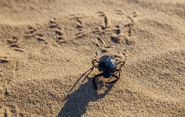Жук-навозник-насекомое-Описание-особенности-виды-образ-жизни-и-среда-обитания-навозника-7