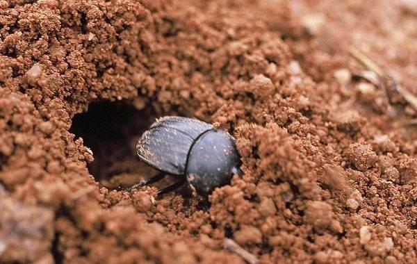 Жук-навозник-насекомое-Описание-особенности-виды-образ-жизни-и-среда-обитания-навозника-8