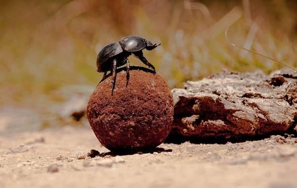 Жук-навозник-насекомое-Описание-особенности-виды-образ-жизни-и-среда-обитания-навозника-9