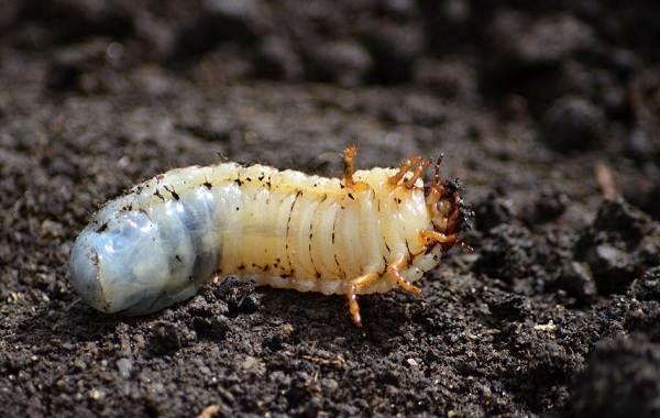 Жук-олень-насекомое-Описание-особенности-виды-поведение-и-среда-обитания-жука-оленя-10