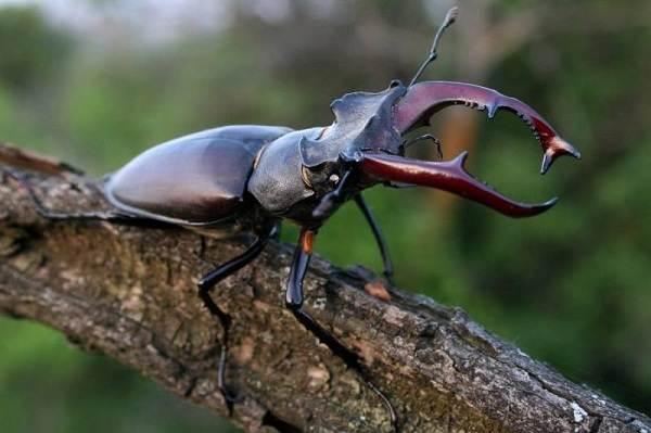Жук-олень-насекомое-Описание-особенности-виды-поведение-и-среда-обитания-жука-оленя-12