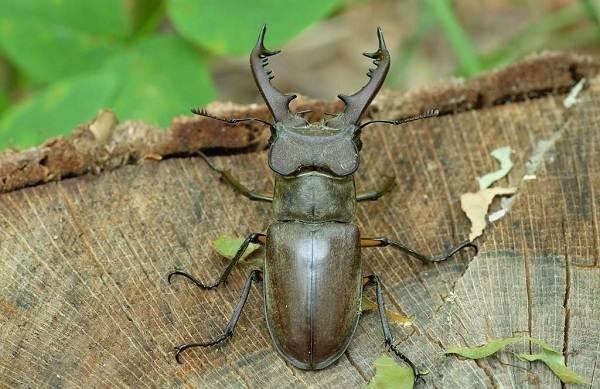 Жук-олень-насекомое-Описание-особенности-виды-поведение-и-среда-обитания-жука-оленя-17