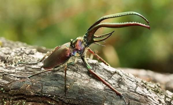 Жук-олень-насекомое-Описание-особенности-виды-поведение-и-среда-обитания-жука-оленя-19