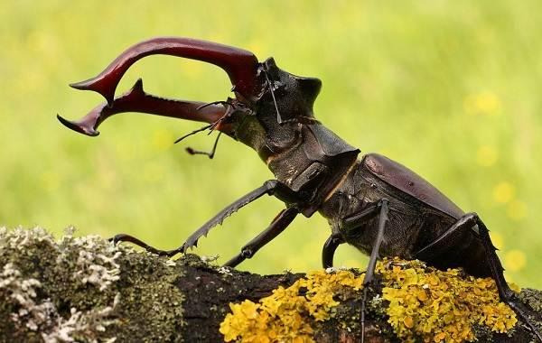 Жук-олень-насекомое-Описание-особенности-виды-поведение-и-среда-обитания-жука-оленя-2