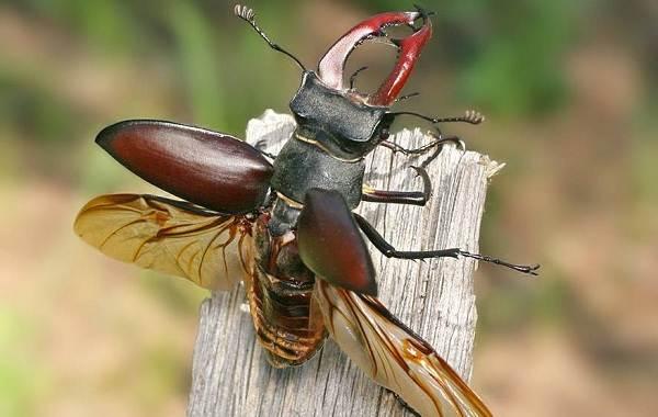 Жук-олень-насекомое-Описание-особенности-виды-поведение-и-среда-обитания-жука-оленя-6