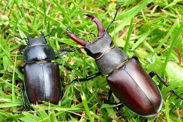 Жук-олень-насекомое-Описание-особенности-виды-поведение-и-среда-обитания-жука-оленя-7
