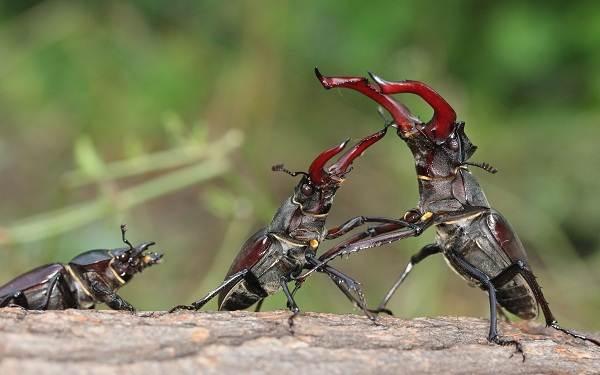 Жук-олень-насекомое-Описание-особенности-виды-поведение-и-среда-обитания-жука-оленя-8