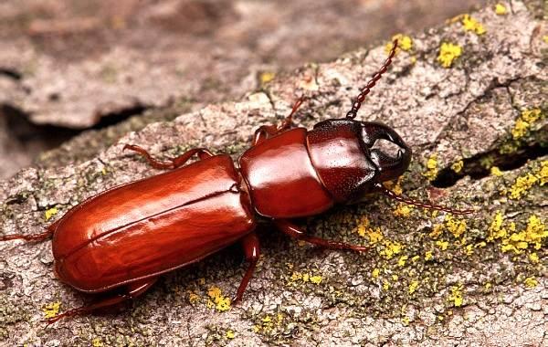 Жук-усач-насекомое-Описание-особенности-виды-образ-жизни-и-среда-обитания-жука-усача-10