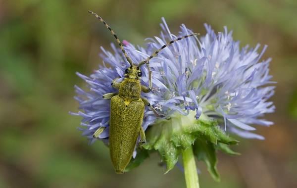 Жук-усач-насекомое-Описание-особенности-виды-образ-жизни-и-среда-обитания-жука-усача-11