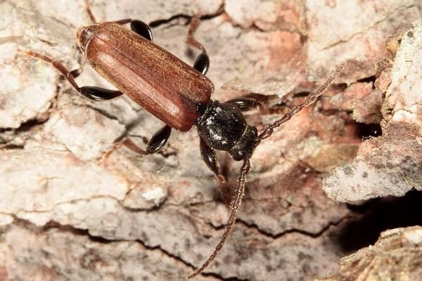 Жук-усач-насекомое-Описание-особенности-виды-образ-жизни-и-среда-обитания-жука-усача-12