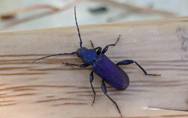 Жук-усач-насекомое-Описание-особенности-виды-образ-жизни-и-среда-обитания-жука-усача-14