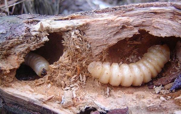 Жук-усач-насекомое-Описание-особенности-виды-образ-жизни-и-среда-обитания-жука-усача-16