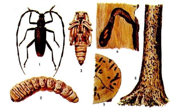 Жук-усач-насекомое-Описание-особенности-виды-образ-жизни-и-среда-обитания-жука-усача-17