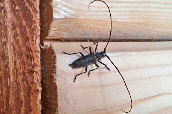 Жук-усач-насекомое-Описание-особенности-виды-образ-жизни-и-среда-обитания-жука-усача-19
