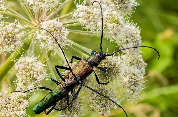 Жук-усач-насекомое-Описание-особенности-виды-образ-жизни-и-среда-обитания-жука-усача-20