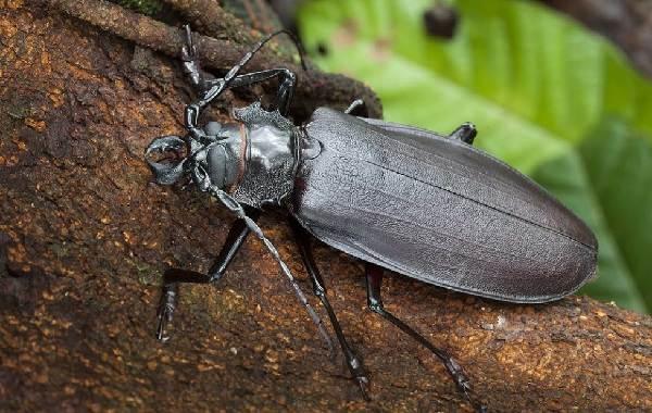 Жук-усач-насекомое-Описание-особенности-виды-образ-жизни-и-среда-обитания-жука-усача-5