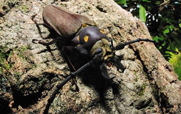 Жук-усач-насекомое-Описание-особенности-виды-образ-жизни-и-среда-обитания-жука-усача-7