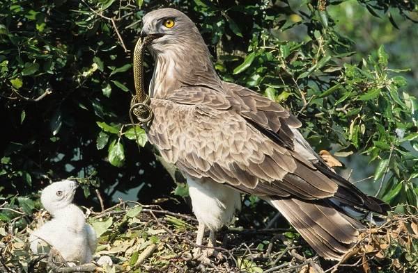 Змееяд-птица-Описание-особенности-виды-образ-жизни-и-среда-обитания-змееяда-12