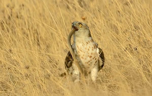 Змееяд-птица-Описание-особенности-виды-образ-жизни-и-среда-обитания-змееяда-13