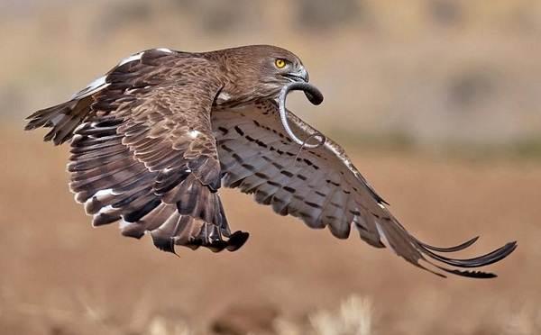 Змееяд-птица-Описание-особенности-виды-образ-жизни-и-среда-обитания-змееяда-15