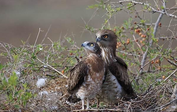 Змееяд-птица-Описание-особенности-виды-образ-жизни-и-среда-обитания-змееяда-16