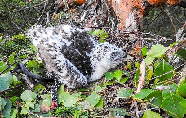Змееяд-птица-Описание-особенности-виды-образ-жизни-и-среда-обитания-змееяда-17