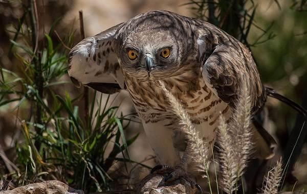Змееяд-птица-Описание-особенности-виды-образ-жизни-и-среда-обитания-змееяда-7
