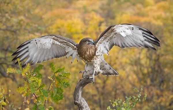 Змееяд-птица-Описание-особенности-виды-образ-жизни-и-среда-обитания-змееяда-9