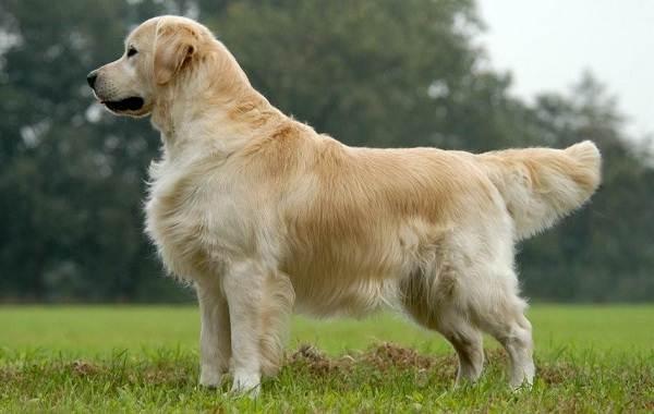 Золотистый-ретривер-собака-Описание-особенности-характер-уход-и-цена-породы-1
