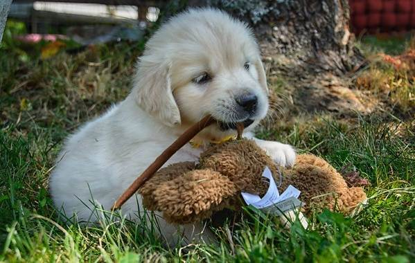 Золотистый-ретривер-собака-Описание-особенности-характер-уход-и-цена-породы-10