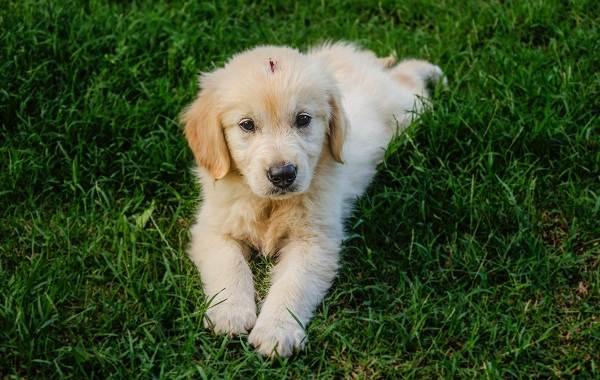 Золотистый-ретривер-собака-Описание-особенности-характер-уход-и-цена-породы-12