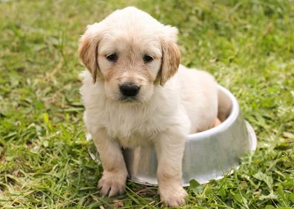 Золотистый-ретривер-собака-Описание-особенности-характер-уход-и-цена-породы-13