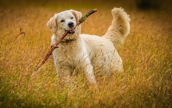 Золотистый-ретривер-собака-Описание-особенности-характер-уход-и-цена-породы-14