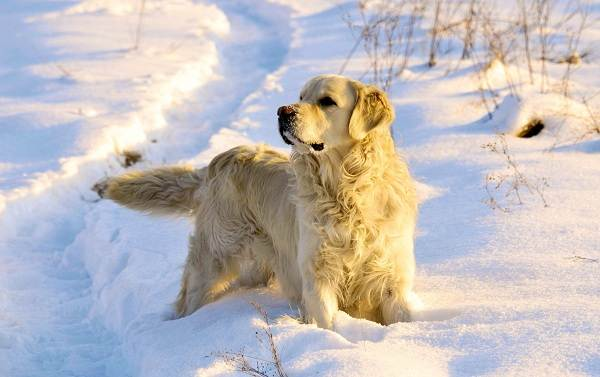 Золотистый-ретривер-собака-Описание-особенности-характер-уход-и-цена-породы-15
