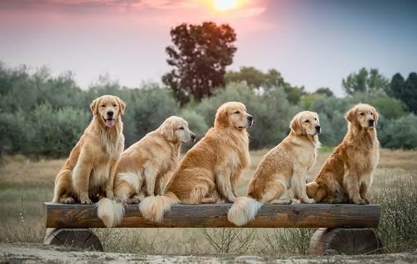 Золотистый-ретривер-собака-Описание-особенности-характер-уход-и-цена-породы-16