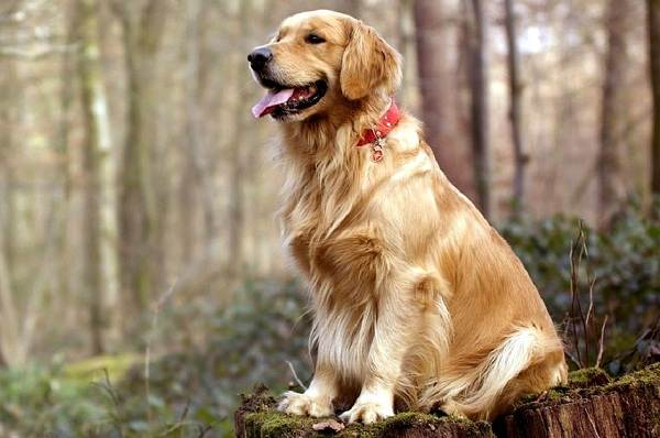 Золотистый-ретривер-собака-Описание-особенности-характер-уход-и-цена-породы-2