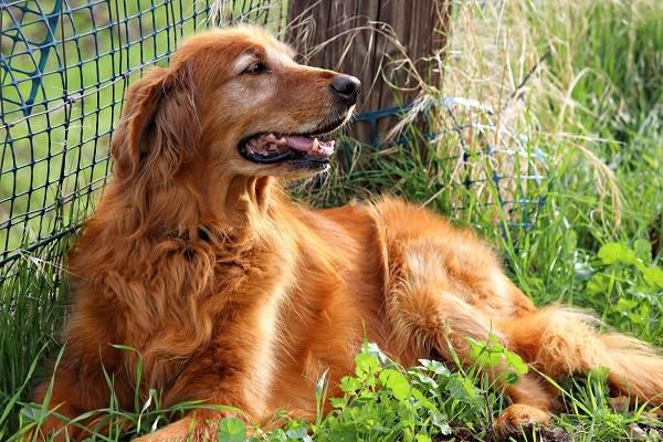 Золотистый-ретривер-собака-Описание-особенности-характер-уход-и-цена-породы-3