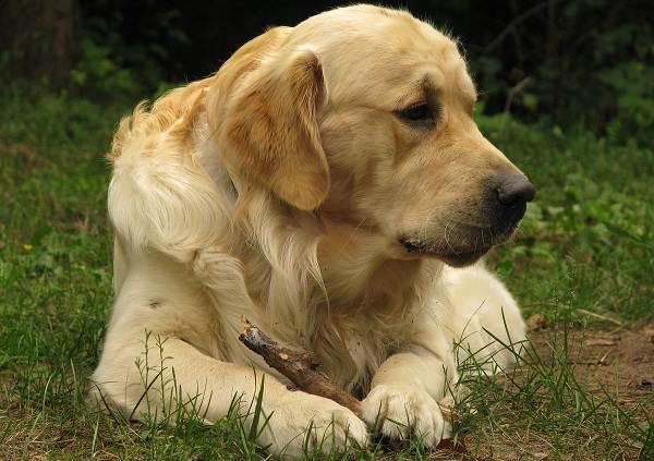 Золотистый-ретривер-собака-Описание-особенности-характер-уход-и-цена-породы-4
