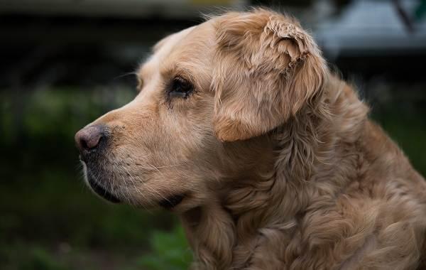 Золотистый-ретривер-собака-Описание-особенности-характер-уход-и-цена-породы-5