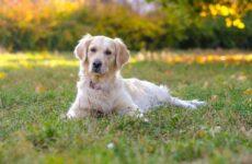 Золотистый ретривер собака. Описание, особенности, характер, уход и цена породы