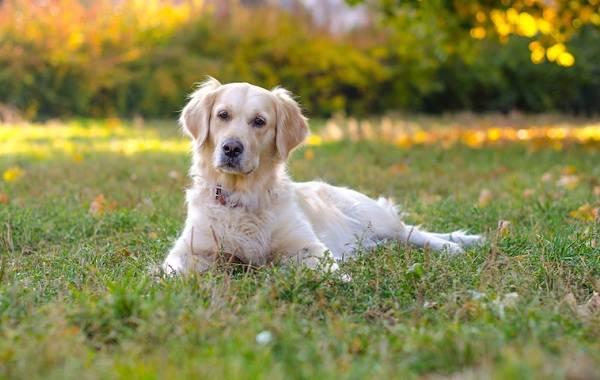 Золотистый-ретривер-собака-Описание-особенности-характер-уход-и-цена-породы-7