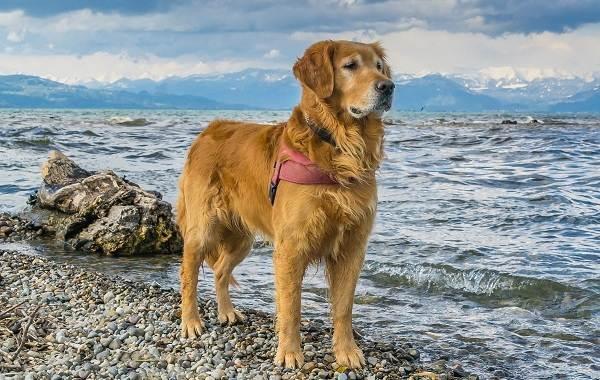 Золотистый-ретривер-собака-Описание-особенности-характер-уход-и-цена-породы-8