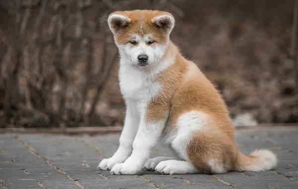 Акита-ину-собака-Описание-особенности-виды-уход-содержание-и-цена-породы-акита-ину-1