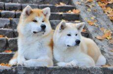 Акита ину собака. Описание, особенности, виды, уход, содержание и цена породы акита ину