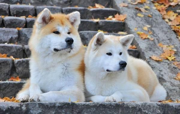 Акита-ину-собака-Описание-особенности-виды-уход-содержание-и-цена-породы-акита-ину-14