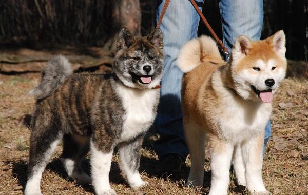 Акита-ину-собака-Описание-особенности-виды-уход-содержание-и-цена-породы-акита-ину-15
