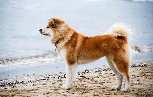 Акита-ину-собака-Описание-особенности-виды-уход-содержание-и-цена-породы-акита-ину-2