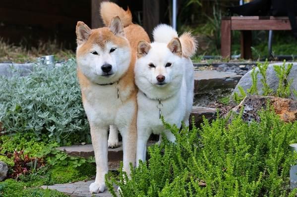 Акита-ину-собака-Описание-особенности-виды-уход-содержание-и-цена-породы-акита-ину-3