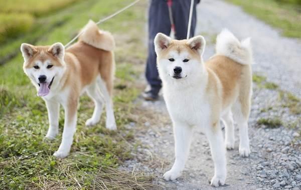 Акита-ину-собака-Описание-особенности-виды-уход-содержание-и-цена-породы-акита-ину-4